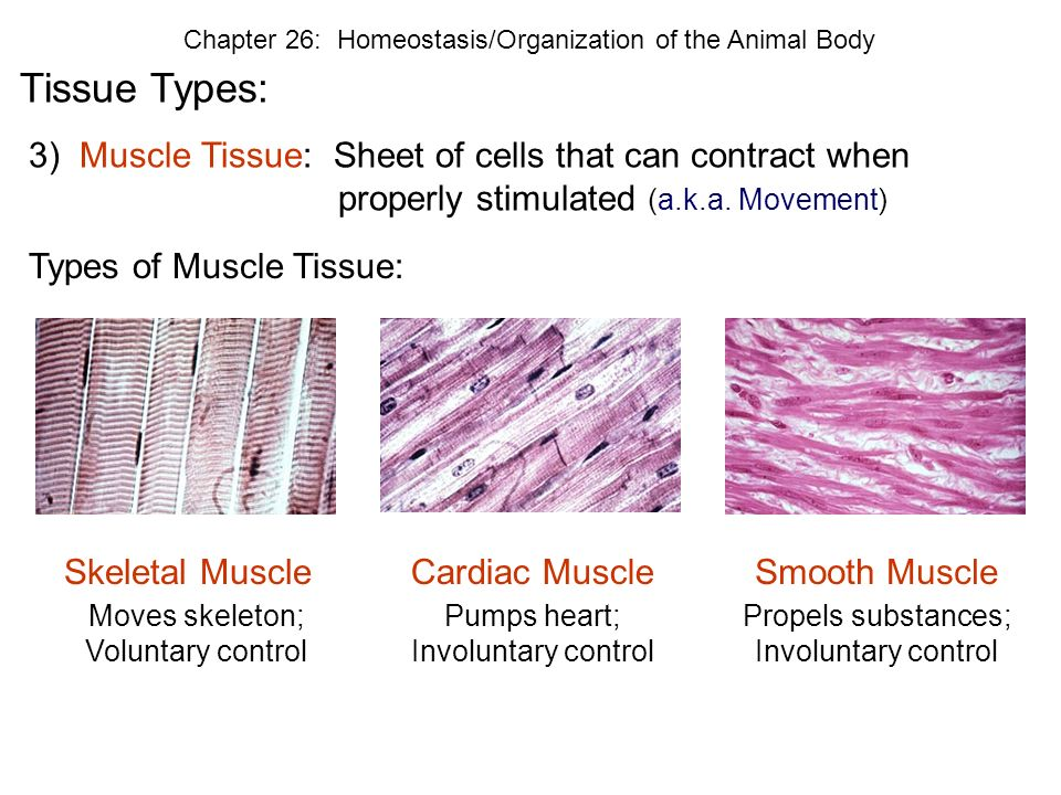 a discussion of the three types of muscle tissues in the body Move your muscles do you know that every person has three different types of muscle in their body tough tissue that attaches skeletal muscles to bone.