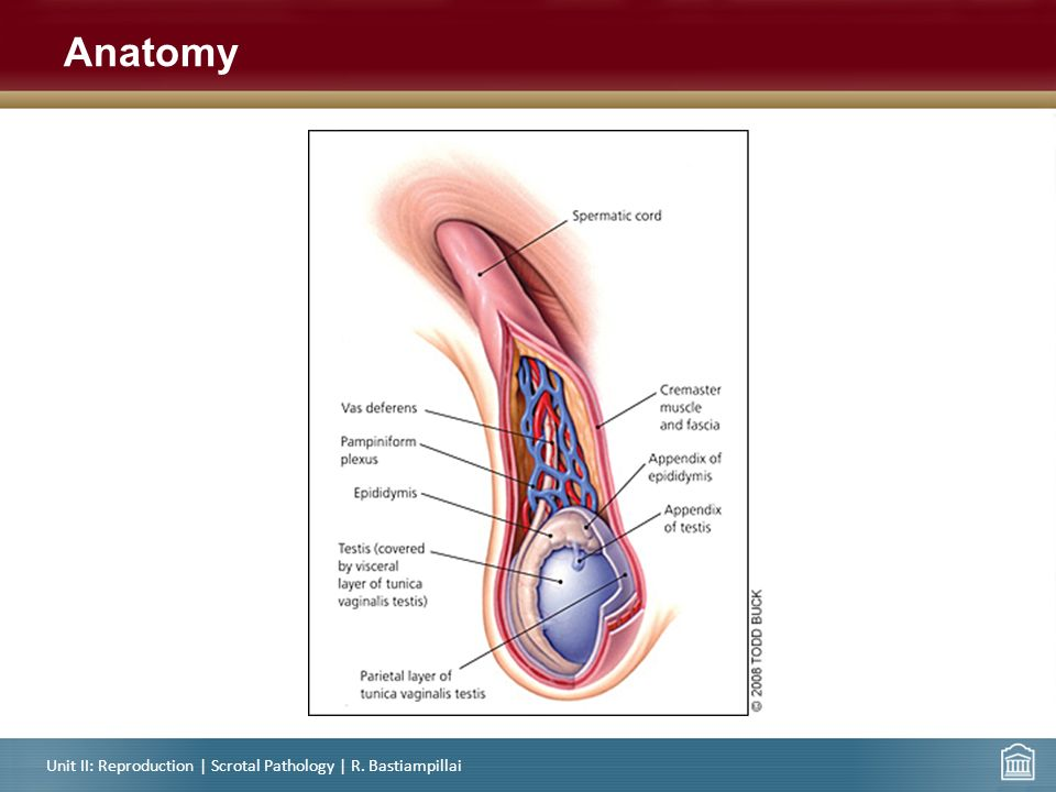 Attractive Testicular Anatomy Model - Human Anatomy Images ...