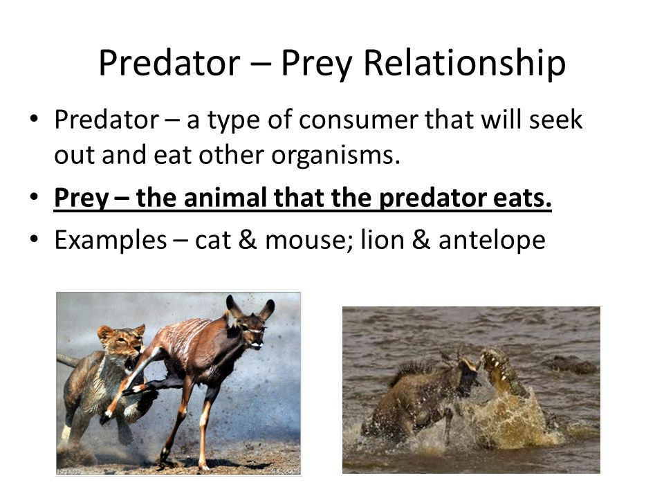 two examples of a predator prey relationship
