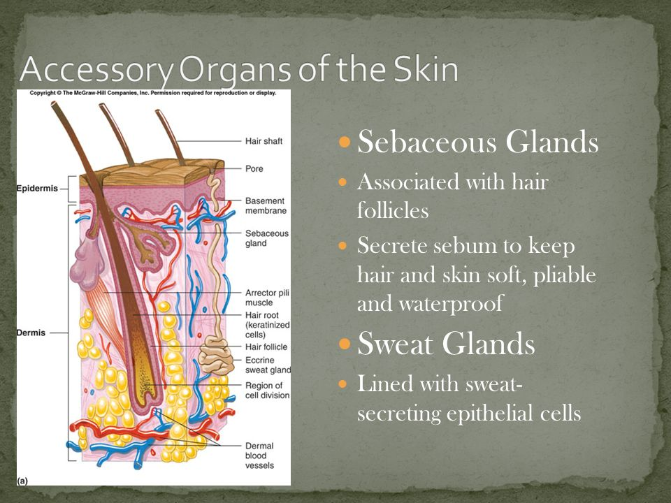 Skin Amp The Integumentary System Ppt Video Online Download