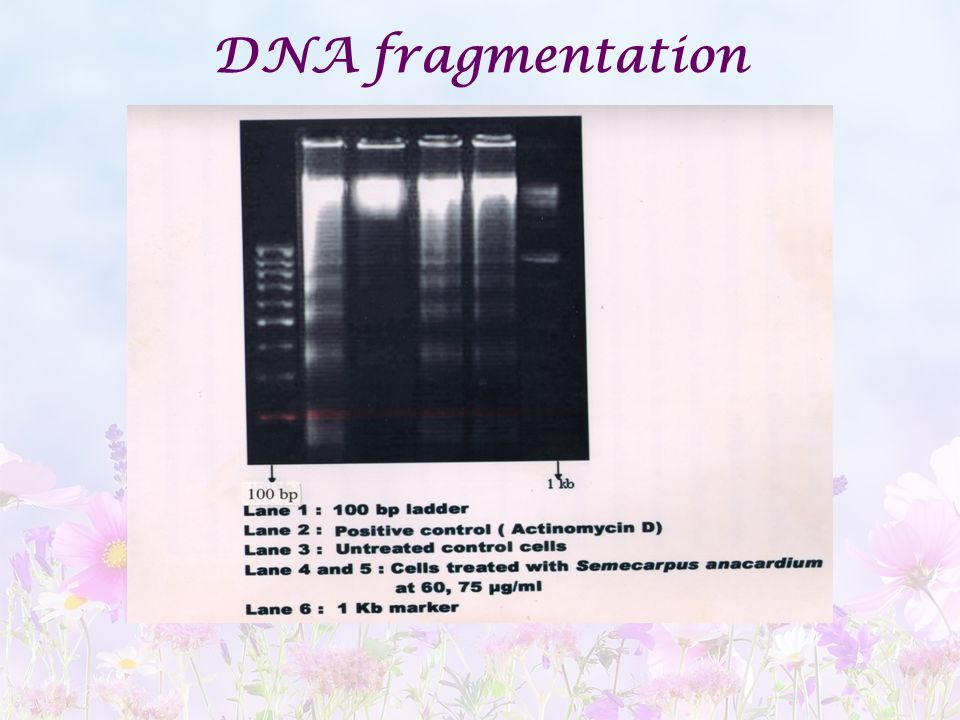 DNA fragmentation