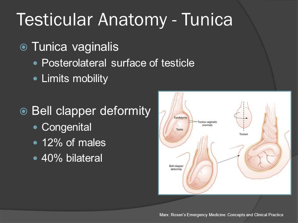 Testicular anatomy ultrasound