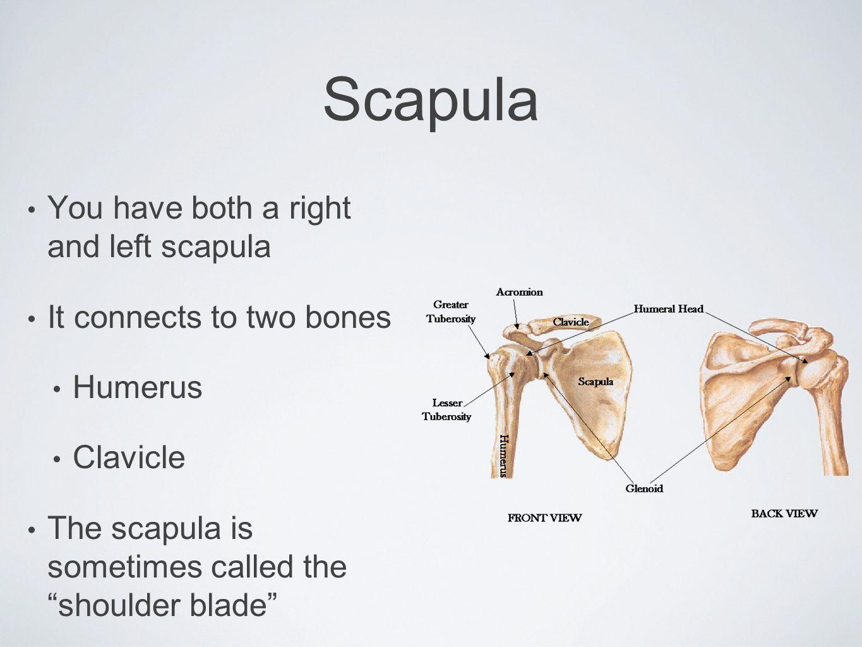 Appendicular Skeleton - ppt video online download
