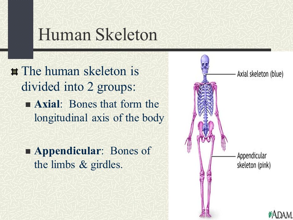 skeletal system objectives: divisions of the skeletal system - ppt, Skeleton