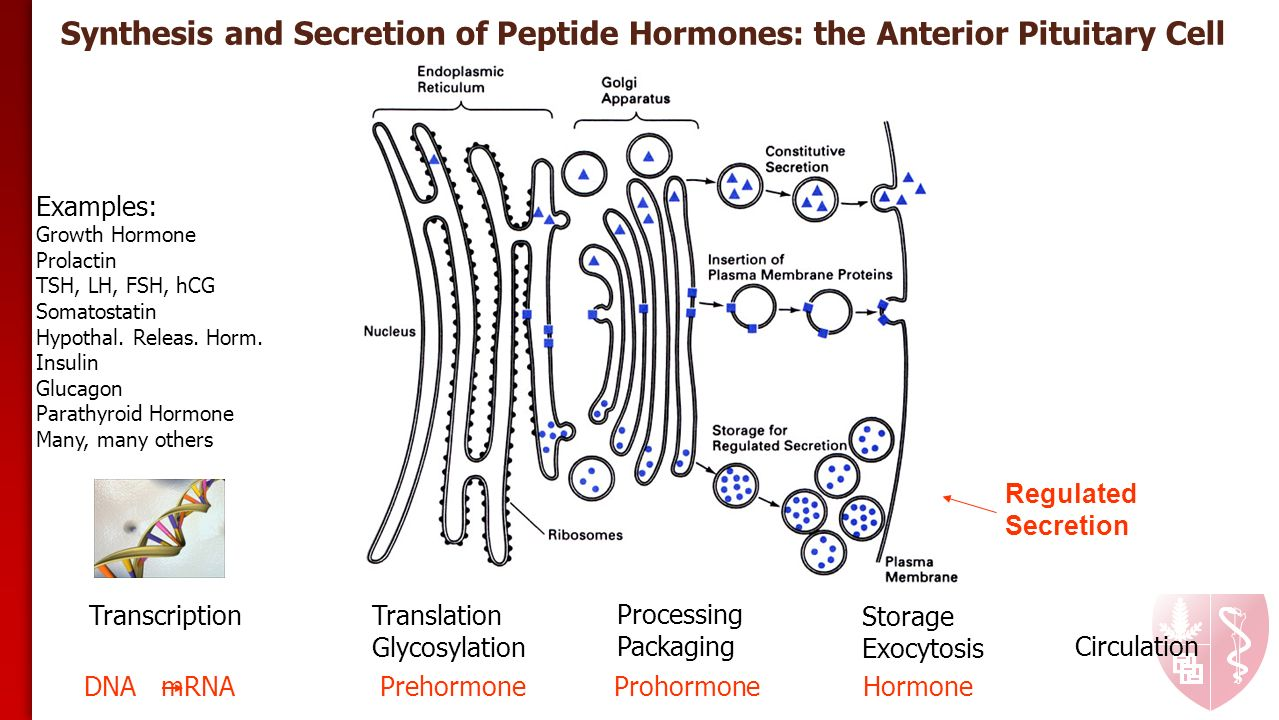 How Do Peptide Hormones And Steroid Hormones Affect The Metabolism
