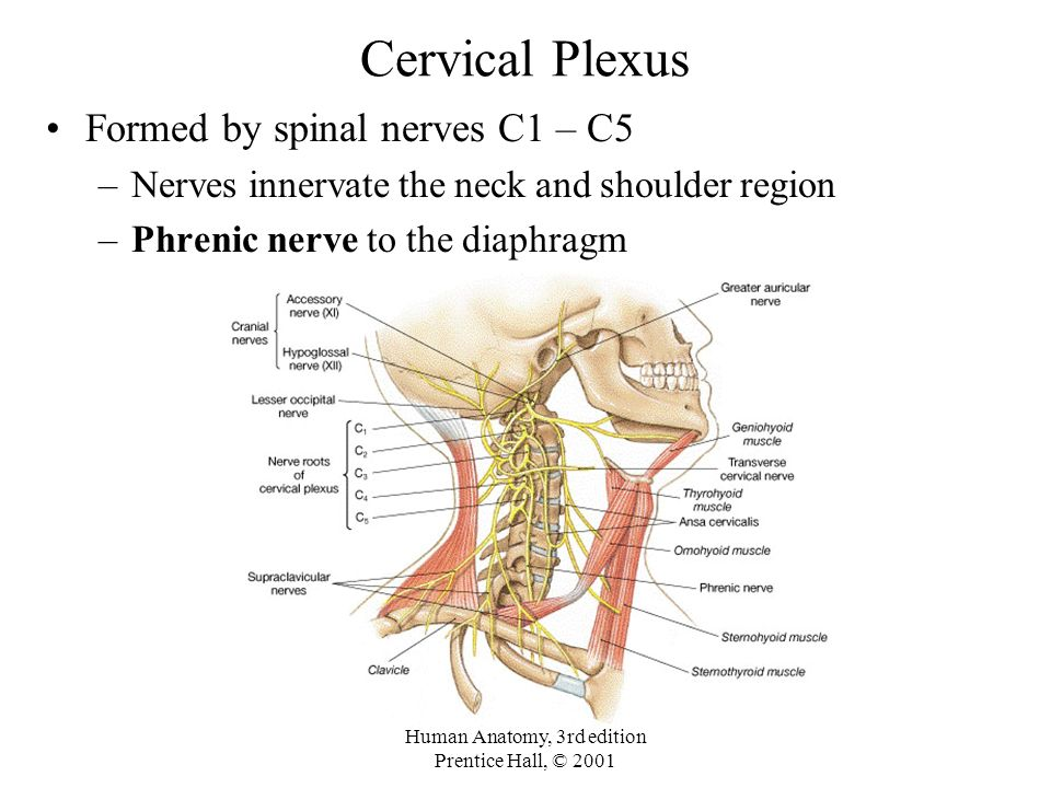 Cervical nerves anatomy
