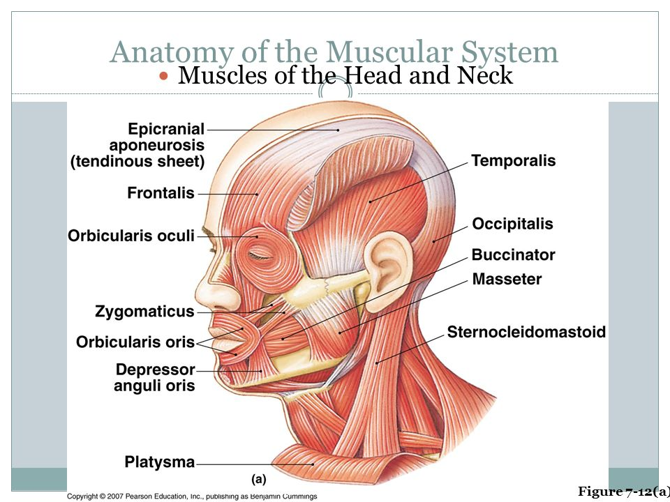 Nett Anatomy And Physiology Muscular System Study Guide Ideen ...