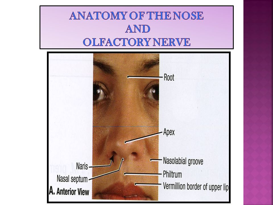 ANATOMY OF THE NOSE AND OLFACTORY NERVE - ppt video online download