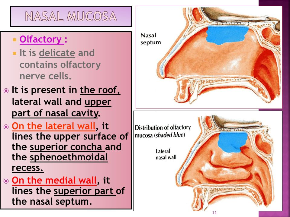 ANATOMY OF THE NOSE AND OLFACTORY NERVE - ppt video online ...