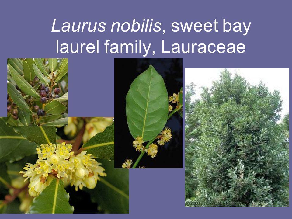 laurus nobilis sweet bay laurus nobilis grecian laurel. Black Bedroom Furniture Sets. Home Design Ideas