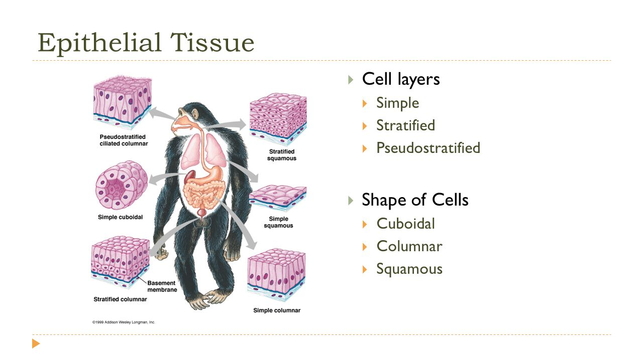 epithelial tissues function As the name implies, connective tissue serves a connecting function it supports and binds other tissues in the body unlike epithelial tissue, which has cells that are closely packed together, connective tissue typically has cells scattered throughout an extracellular matrix of fibrous proteins and.