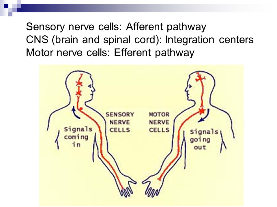 the nerve cell Neurons or nerve cells - structure and function | human anatomy | biology the nervous system is an essential part of the human body that helps in the transmi.