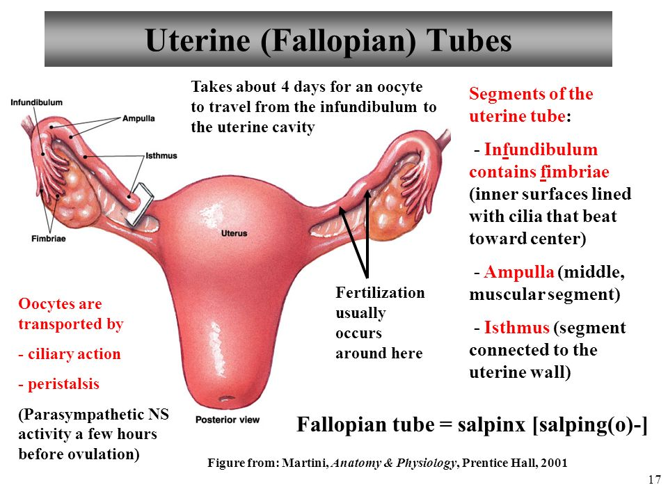 Anatomy and physiology chapter 25 reproductive system female i 17 uterine fallopian tubes sciox Gallery