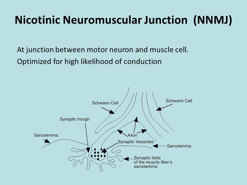 CelltoCell Communication ppt download – Neuron and Neuromuscular Junction Worksheet
