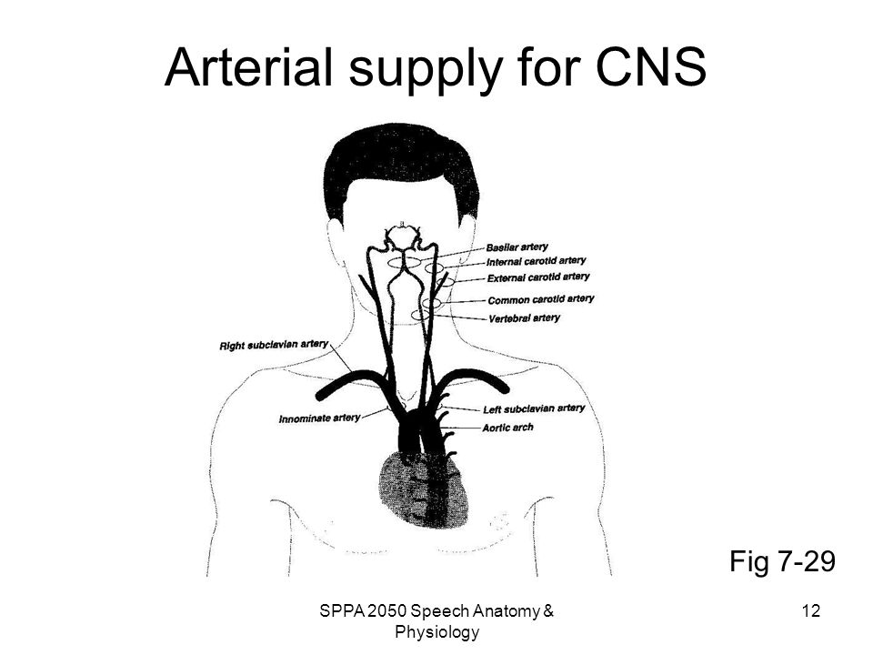 Arterial supply for CNS