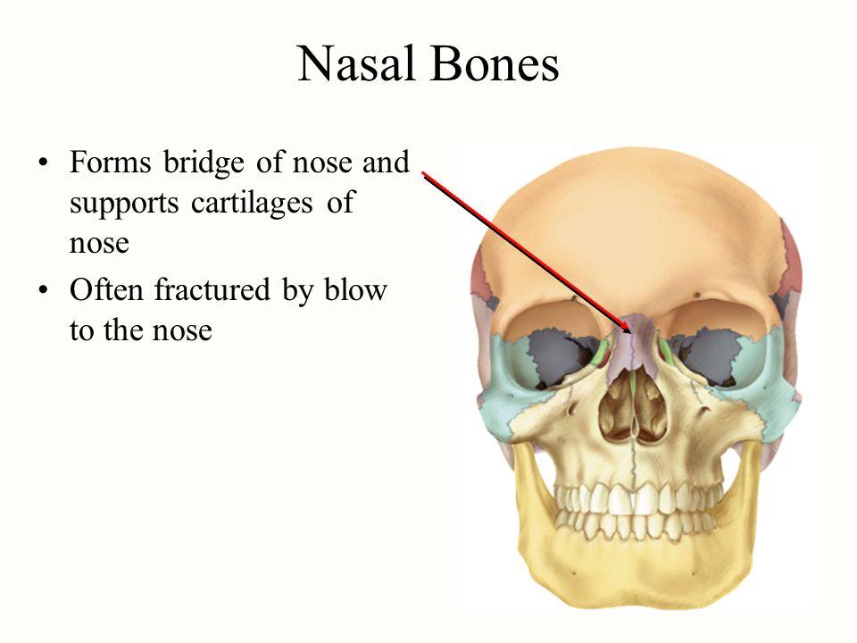 what bones form the bridge of the nose - Moren.impulsar.co