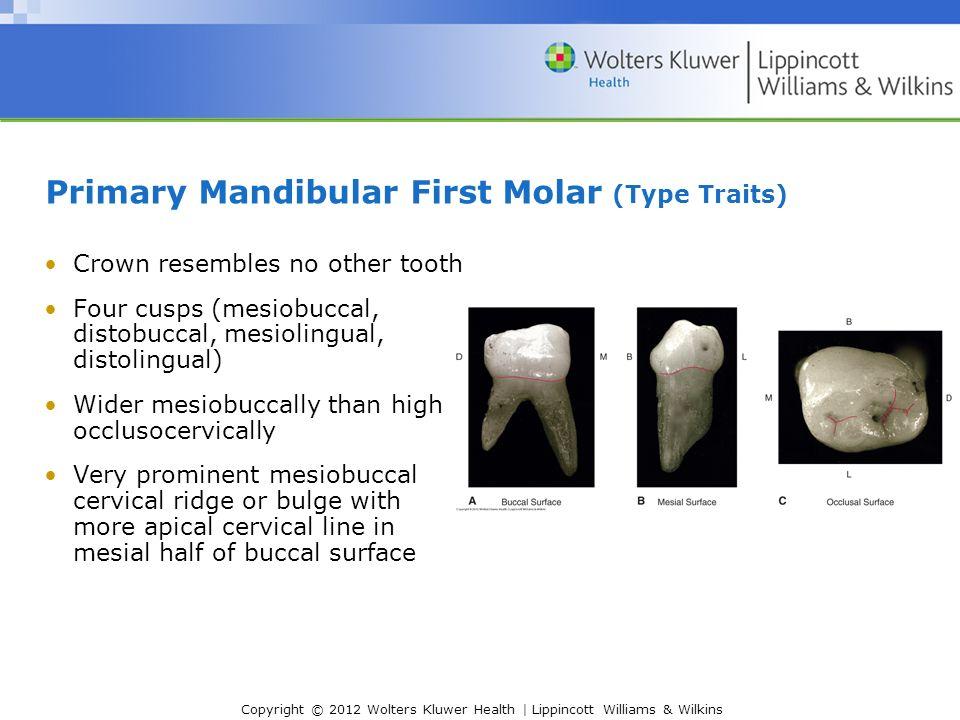 Nice Mandibular Teeth Anatomy Component - Human Anatomy Images ...