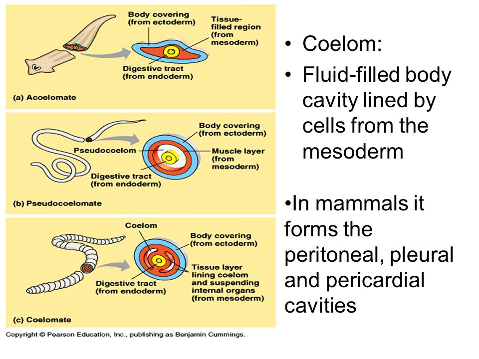 coelom fluidfilled body cavity lined by cells from the
