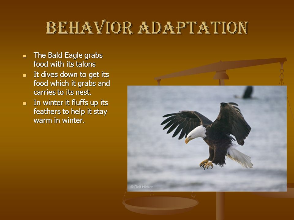 Behavior adaptation The Bald Eagle grabs food with its talons