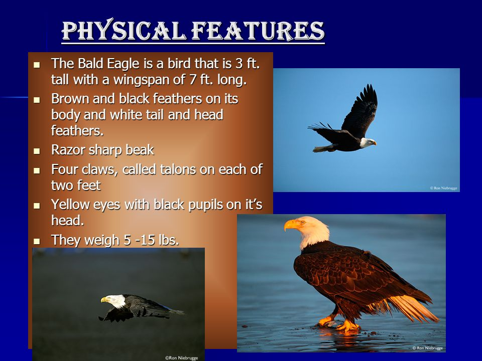 Physical features The Bald Eagle is a bird that is 3 ft. tall with a wingspan of 7 ft. long.