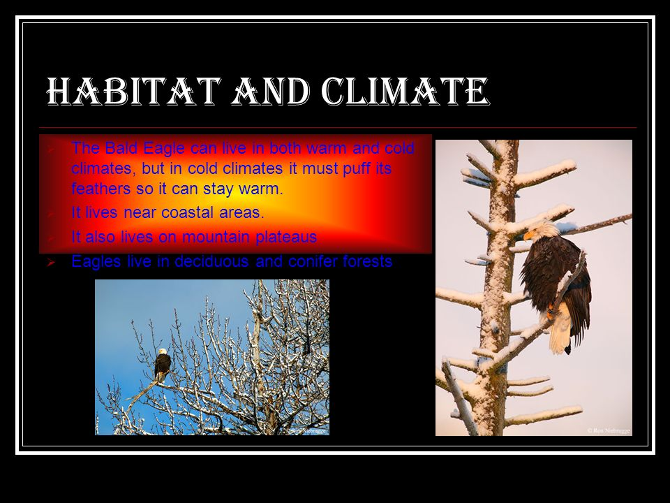 Habitat and climate The Bald Eagle can live in both warm and cold climates, but in cold climates it must puff its feathers so it can stay warm.