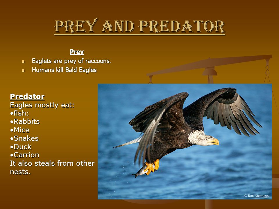 Prey and predator Predator Eagles mostly eat: fish: s Rabbits Mice