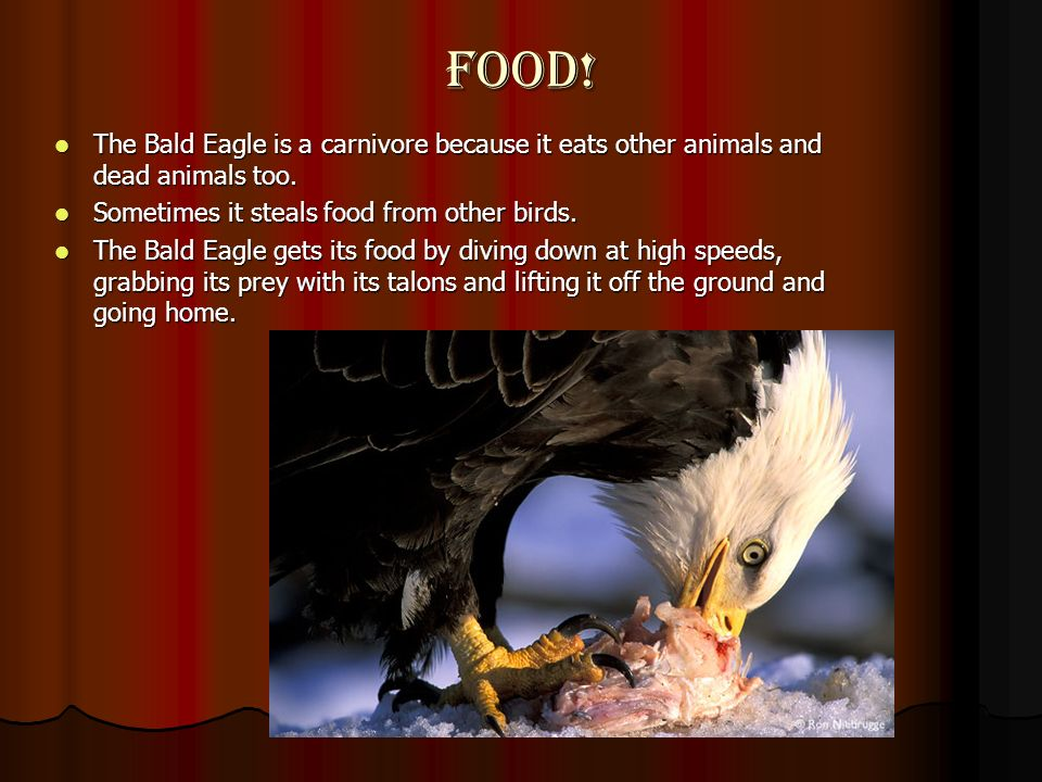 Food! The Bald Eagle is a carnivore because it eats other animals and dead animals too. Sometimes it steals food from other birds.
