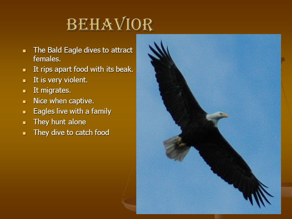 behavior The Bald Eagle dives to attract females.