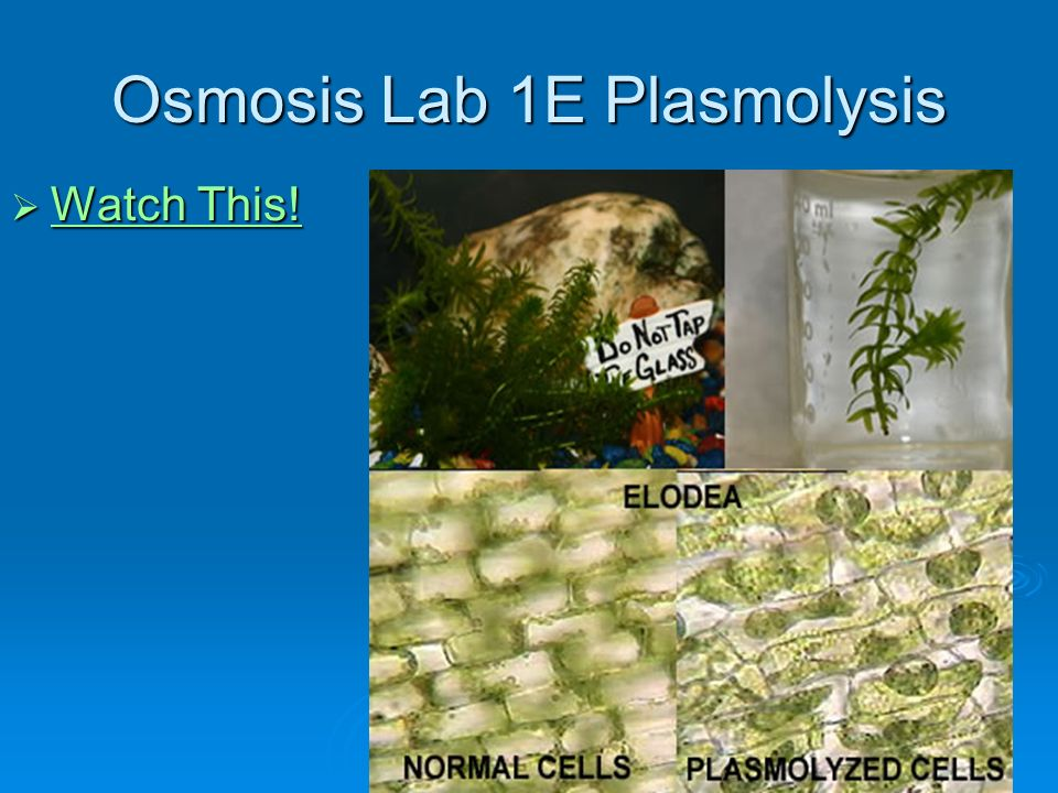 conclusion on plasmolysis experiment Plasmolysis lab problem: what effects do different concentrations of water have on elodea cells background: you should research the following- hypertonic solutions, hypotonic solutions, isotonic solutions, plasmolysis, crenation, turgor pressure (turgidity.