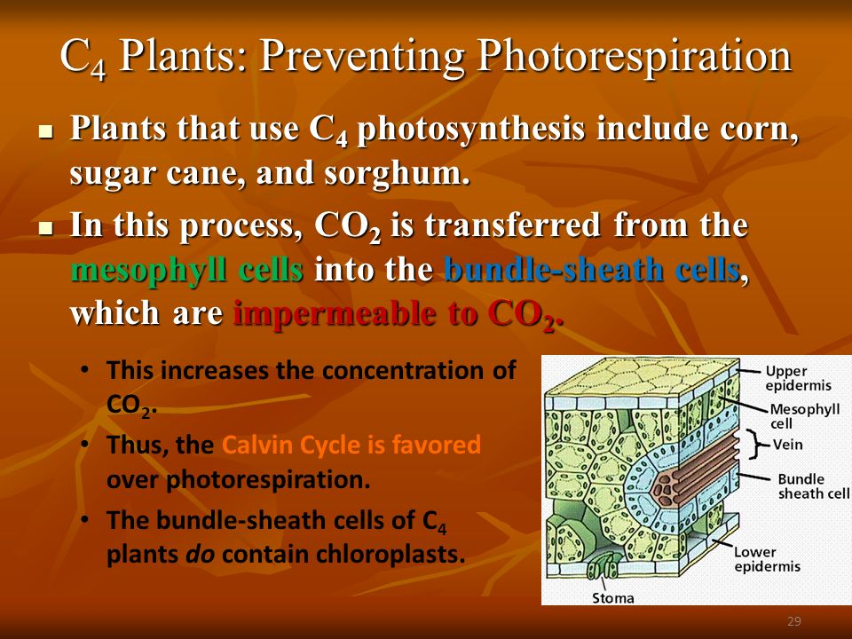 using c4 photosynthesis to increase the C4 pathway factors that affect when light intensities are increased beyond the compensation point, the rate of photosynthesis continues to increase more or less.