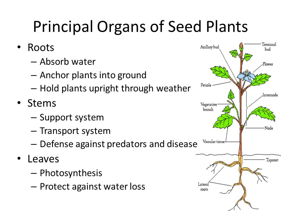 PrimaryLeap.co.uk - Parts of a plant - stems and leaves ...
