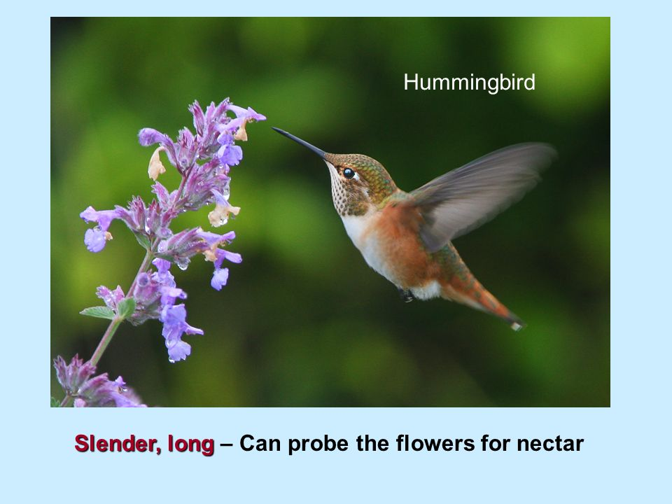 hummingbird adaptations essay Essay birds birds are some of the most amazing animals on earth most have the ability to fly some use ground travel some use claws, others use only their beaks.