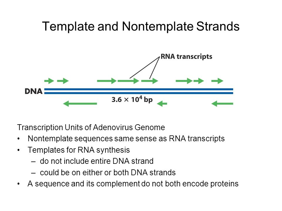Rna metabolism transcription and processing ppt video for What is a template strand