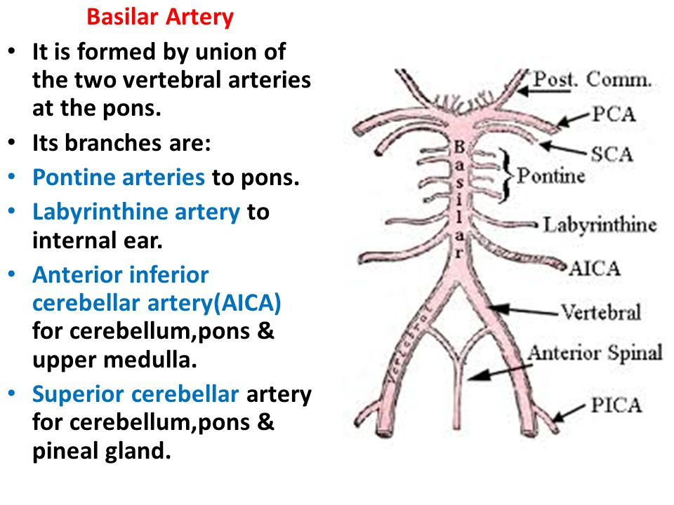 The Blood Supply of the Brain and Spinal Cord - ppt video ... Labyrinthine Artery