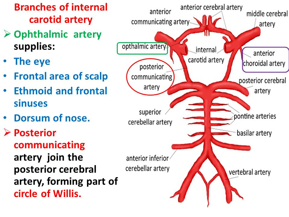 The Blood Supply of the Brain and Spinal Cord - ppt video ...