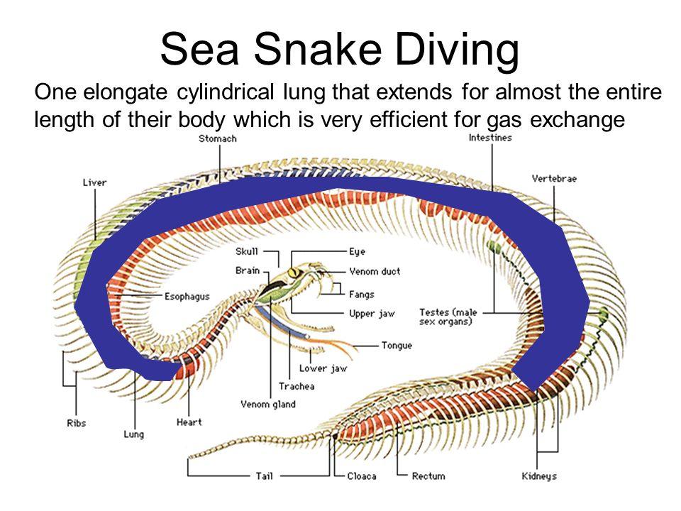 Luxury Snake Anatomy Diagram Festooning - Anatomy Ideas - yunoki.info