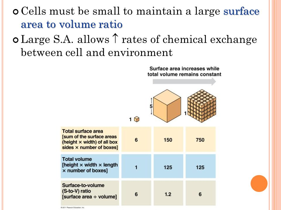 understanding the concept of surface area to volume ratio in plants Understanding the concept of surface area to volume ratio in plants pages 2 words 1,124 view full essay more essays like this: surface area, volume ratio.