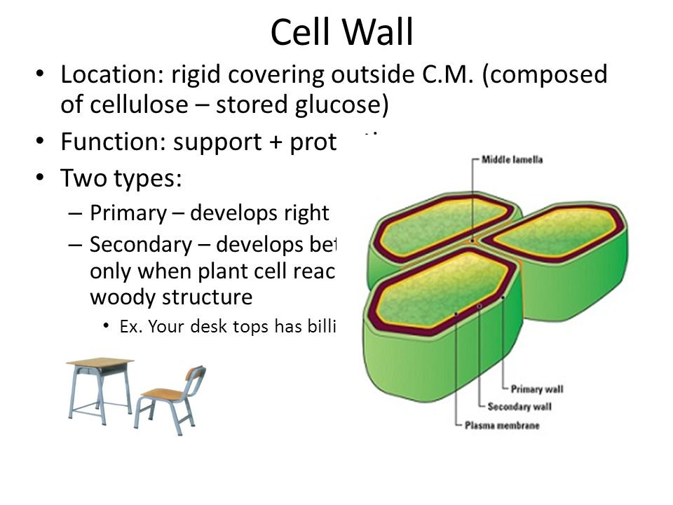 4-4: Unique Features of Plant Cells - ppt video online ...