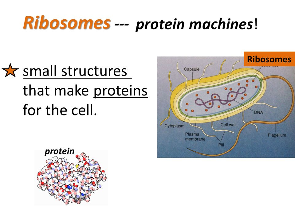 where are the instructions for making proteins found