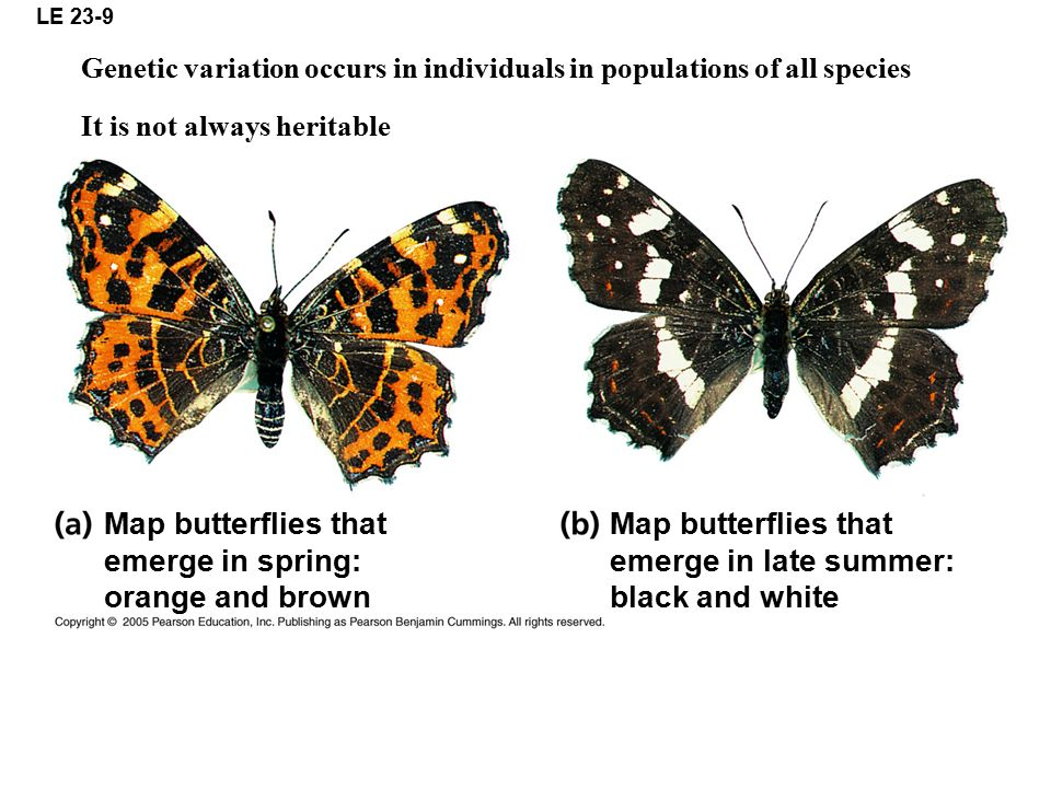 Map butterflies that emerge in spring: orange and brown
