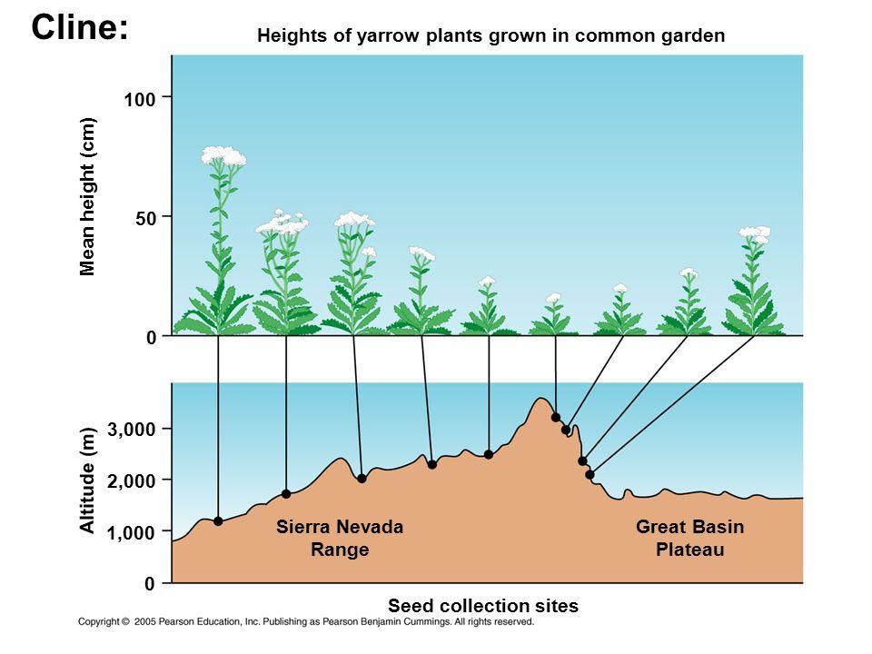 Cline: Heights of yarrow plants grown in common garden 100