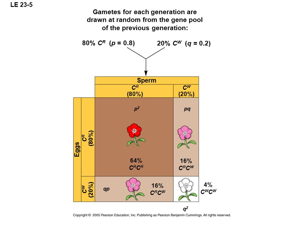Gametes for each generation are drawn at random from the gene pool