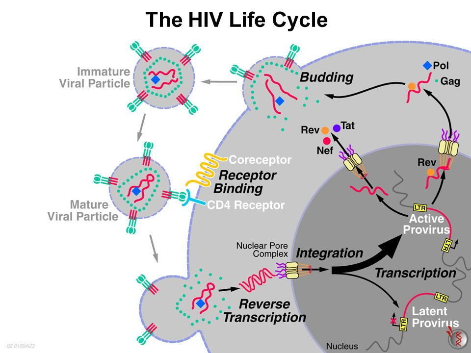 life cycle of virus pdf