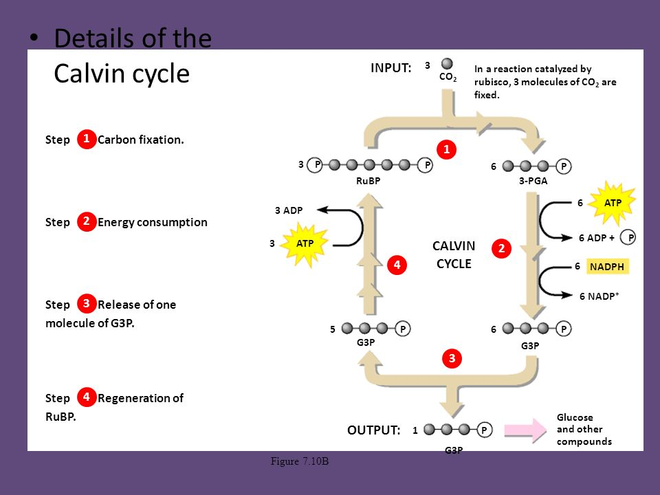 Calvin Cycle Also know as Calvin – Benson Cycle - ppt ...