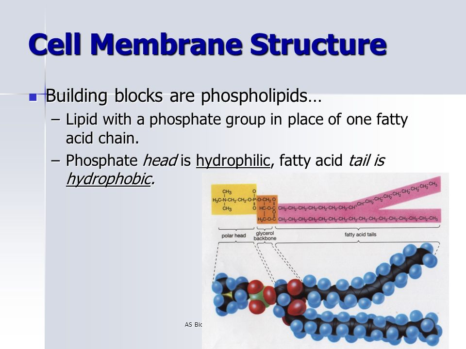 Build A Membrane : Cell membrane structure ppt video online download