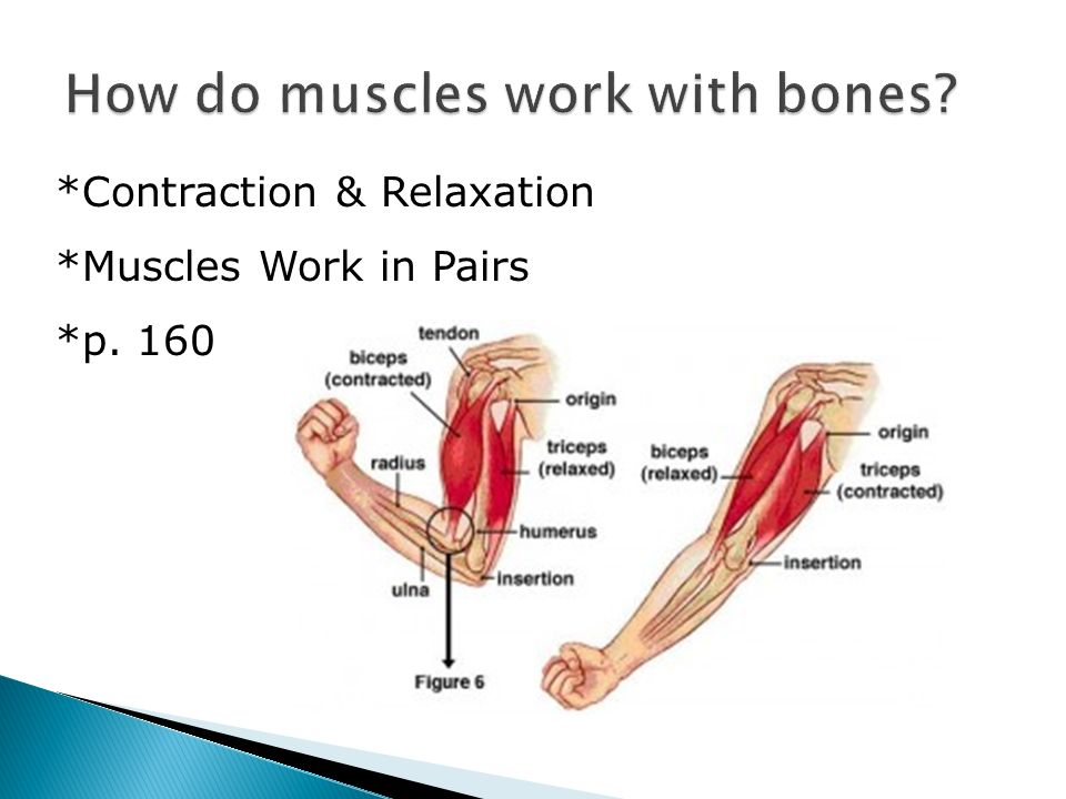 bones to muscles how do How do muscles move bones when a muscle acts to move a bone, it's point of origin (which is usually the end of the muscle closest to the axial skeleton)is held fairly stable so that the contraction of the muscle pulls the bone to which it inserts into towards it, in a lever-like action across the joint, which acts as a pivot.
