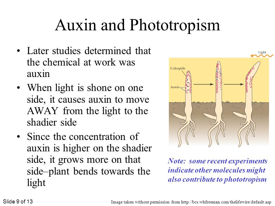 Tropism In Plants Ppt Best 2017. Phototropism And Plant Hormones Ppt. Worksheet. Plant Tropism Worksheet At Clickcart.co