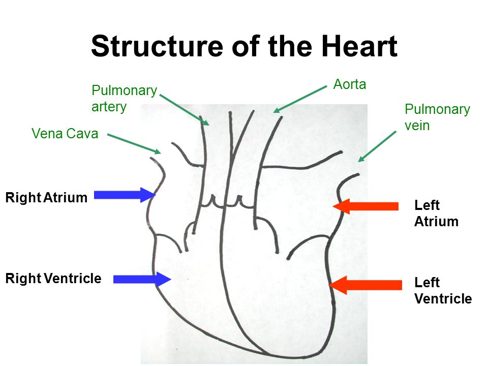 Structure of the Heart Aorta Pulmonary artery Pulmonary vein Vena Cava