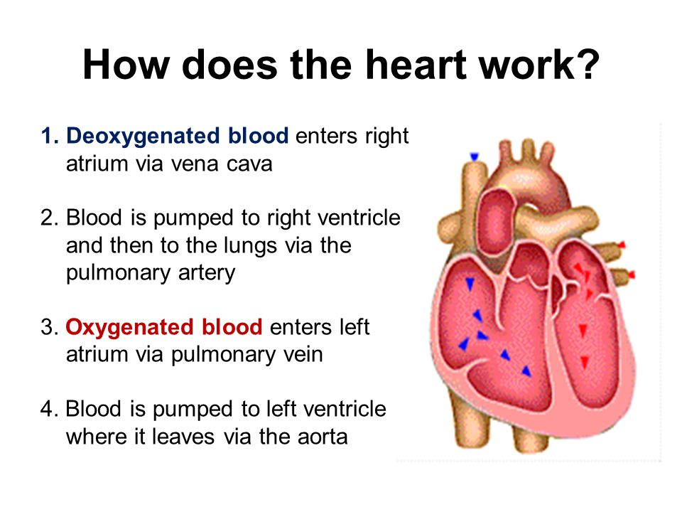 How does the heart work Deoxygenated blood enters right atrium via vena cava.