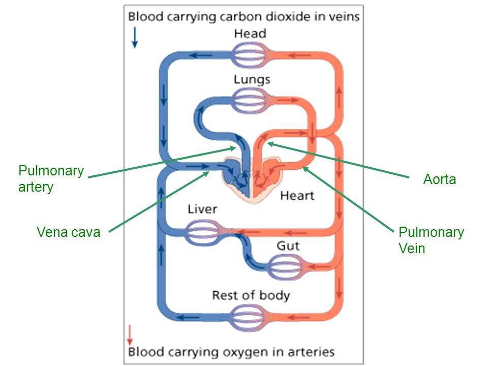 Pulmonary artery Aorta Vena cava Pulmonary Vein